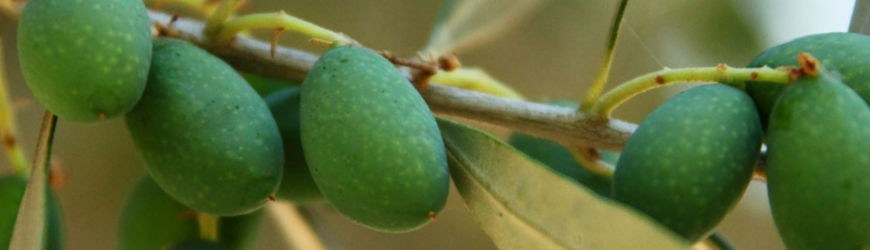 Elm Tree Gifts | Collections | Olive Grove